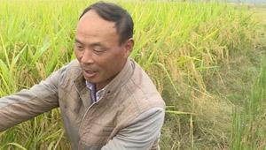 """张庄乡新湖村:优质水稻""""喜""""丰收"""