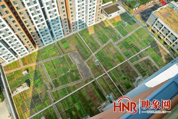 郑州一小区楼顶惊现大片菜园 小白菜、萝卜、小茴香一应俱全